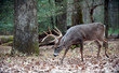 Whitetail deer buck walking in the woods
