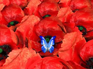 papillon et coquelicots