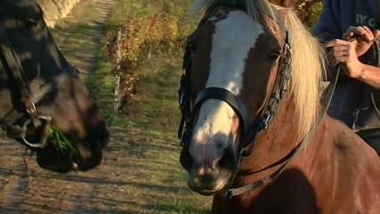 Cavalli in vigna - Slow-motion