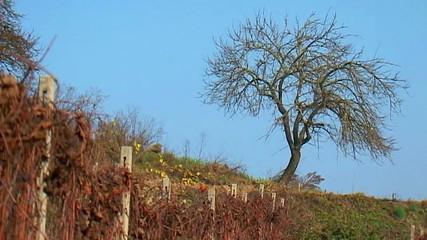 Vigneto - Panorama con albero
