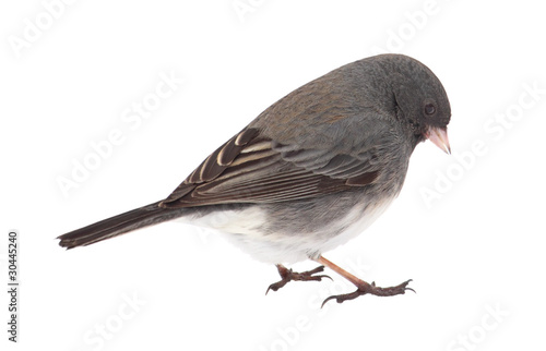 Dark-eyed Junco, Junco hyemalis, isolated