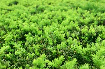 Fur-tree background