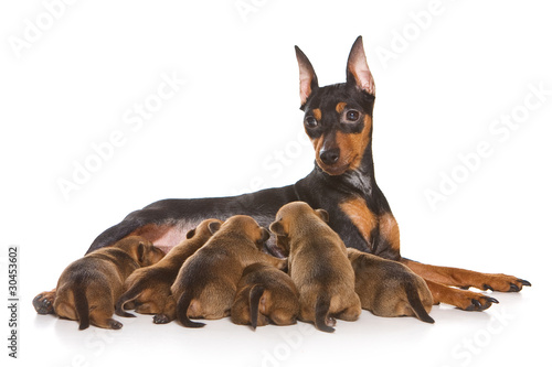 Pinscher family isolated on white