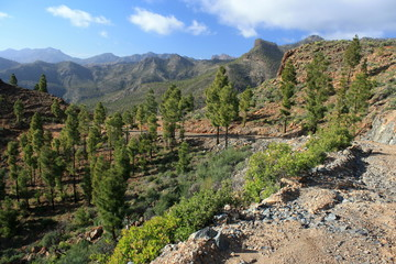 Pine forest on Gran Canaria