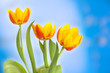 Yellow tulips on abstract blue background