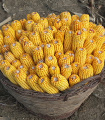 Agriculture, harvested corn in a wicker basket