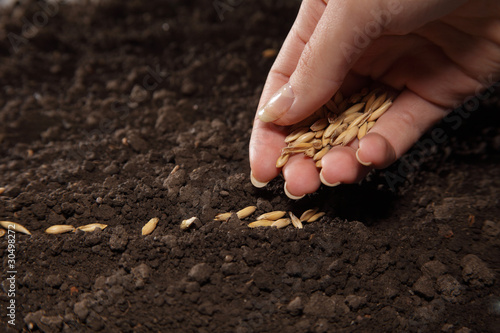 sowing weat - 30498272