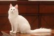 élégance du chat angora assis de profil