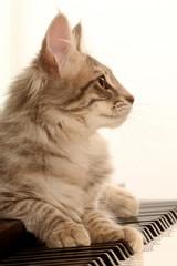 tête de profil du chat installé sur le clavier du piano