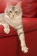 chat angora turc sur un fauteuil rouge