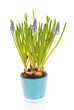 Muscari botryoides flowers also known as blue grape