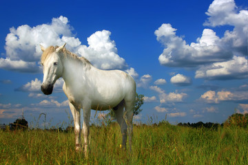 The white horse on the field