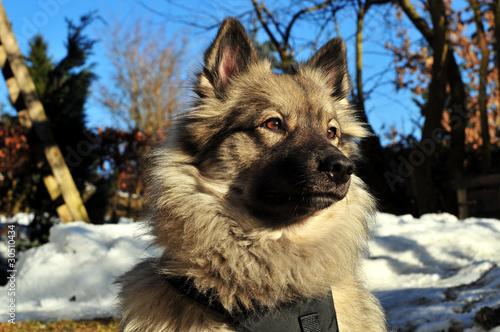 Wolfsspitz Portrait im Winter