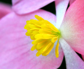 A Close Up of the Numerous Stamens of a Male Begonia Flower