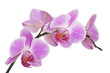 Orchidee (light pink) #4
