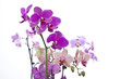 Orchideen (pink, rosa, lila) #3