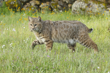 Bobcat in deep green grass