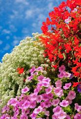 Balkonpflanzen, beliebte Sommerblumen