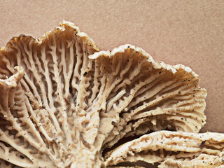 Close up of chanterelle mushroom