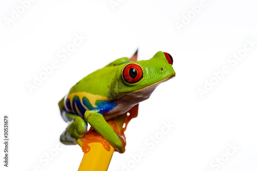 Foto op Aluminium Kikker Frog on a pencil