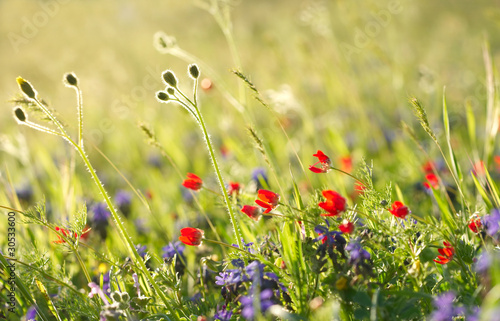Obraz na Szkle Red field flowers with green crops. Shallow DOF