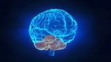 Human brain parts poster