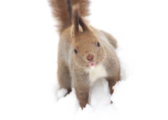 Hokkaido Squirrel on the snow