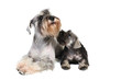 Two schnauzer dogs in studio on a white background