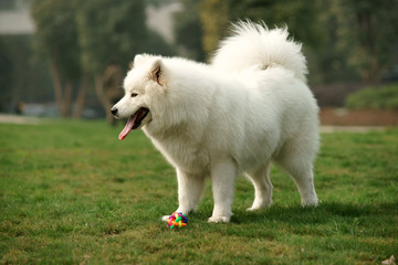 Samoyed dog standing on grass lawn