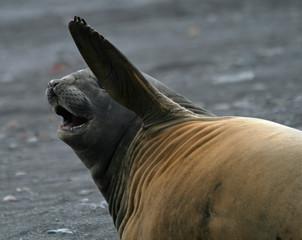 Elephant seal 11