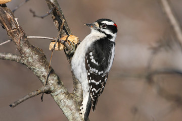 Downy Woodpecker male Picoides pubescens