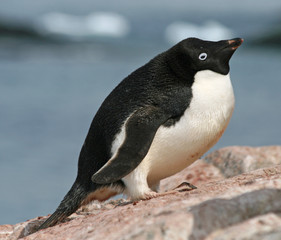 Adelie Penguin 10