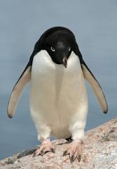 Adelie Penguin 13
