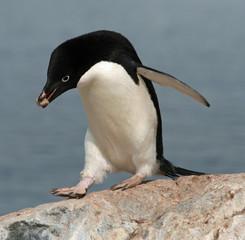 Adelie Penguin 15