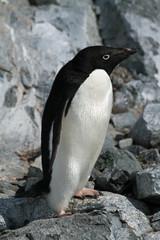Adelie Penguin 22