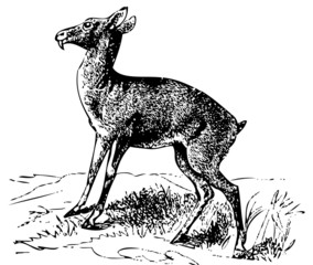Old engraving of a Siberian musk deer or moschus moschiferus