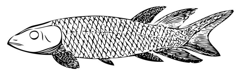 Old engraving of an extinct Dipterus macrolepidotus