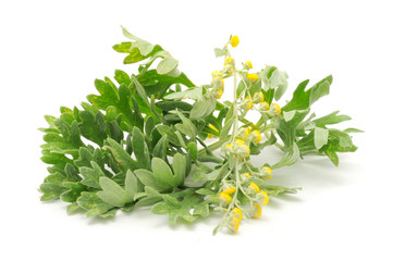Wormwood Isolated on White Background