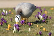 Krokuswiese / Crocuses
