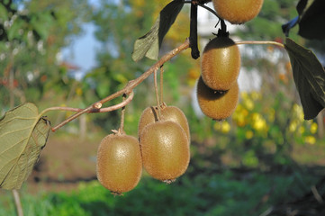 Kiwis on branch