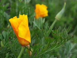 Californian poppy (Eschscholzia californica) in the wild