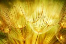 miękkie kwiaty mniszka lekarskiego