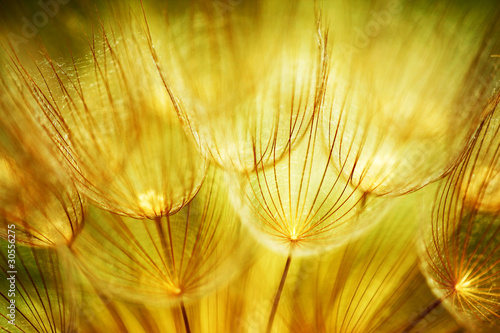 Soft dandelion flowers|30556275