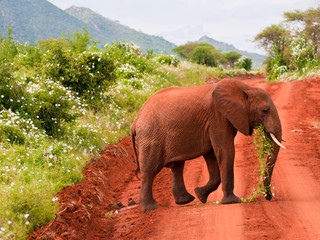 Baby elephant eating grass
