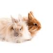 Angorafell-Kaninchen