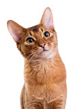 Young Abyssinian cat isolated on white