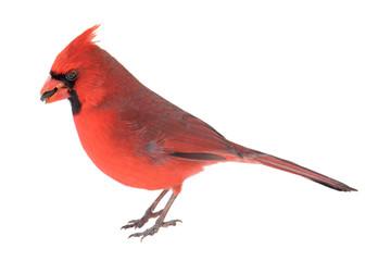 Norther Cardinal, Cardinalis cardinalis