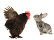 rabbit and cock