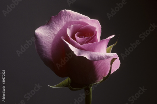 Closeup of pink rose against a gray background