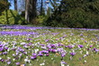 Krokusse / Crocuses